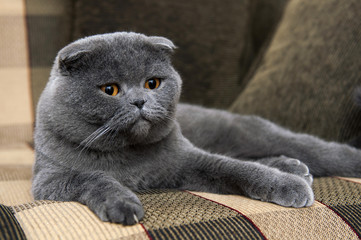 Scottish Fold on the couch