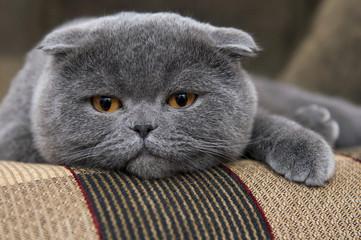 Portrait of a cat close-up. Scottish Fold