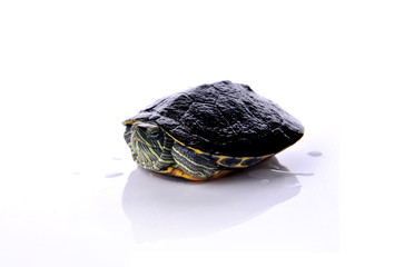 water turtle on white background