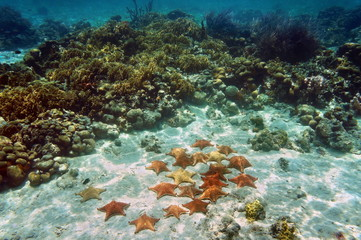 Cushion sea stars underwater in a coral reef