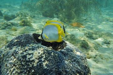 Nest of fish Spotfin Butterflyfish in a sponge