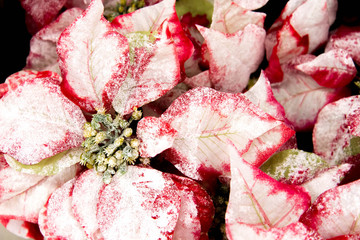 Christmas decorations - red and white Poinsettia
