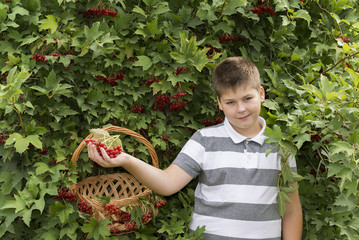 Boy collects berries of viburnum in the garden