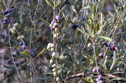 Tuinposter Olijfboom olivier