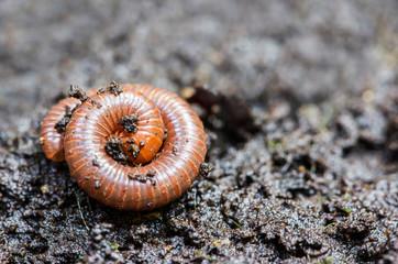 Small millipede