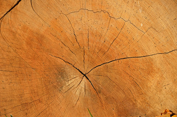 A cross section of the old tree trunk