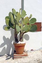 cactus in clay pot