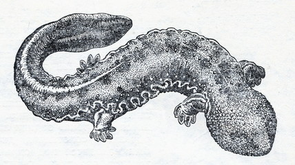 Japanese giant salamander (Andrias japonicus)