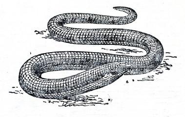 Sheltopusik (Pseudopus apodus)