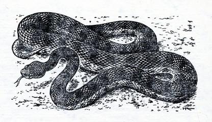 Lebetine viper (Macrovipera lebetina)