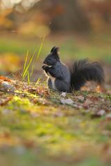 Brown squirrel with hazelnut on grass