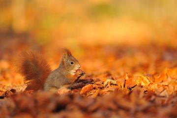 Red squirrel with hazelnut on fallen leafs