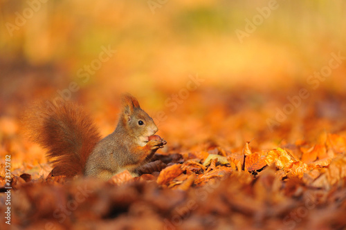 In de dag Eekhoorn Red squirrel with hazelnut on fallen leafs