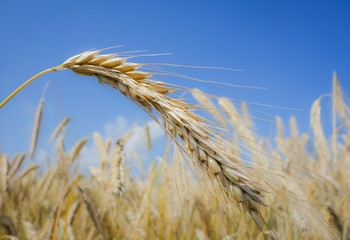 Getreideähre, reifes Getreide auf dem Feld