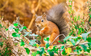 Red Squirrel sitting in forest
