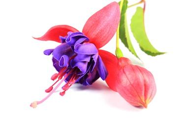 Purple fushia flower
