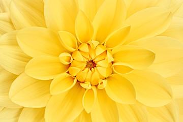 Dahlia, yellow colored flower head.  Studio shooting. Background