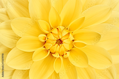 Deurstickers Dahlia Dahlia, yellow colored flower head. Studio shooting. Background