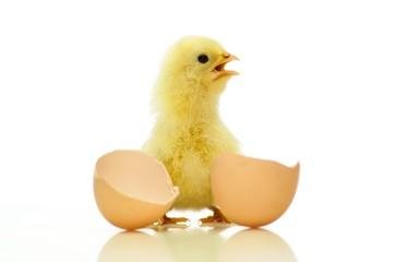 Frisch geschlüpftes Eintagsküken mit Eierschale, freigestellt