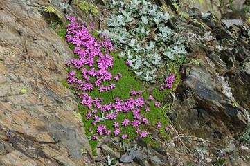 Fleures alpines - Silene acaulis