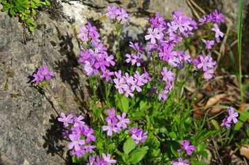 Fleures alpines - Saponaria ocymoide