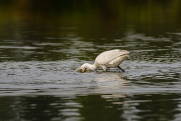 Common spoonbill (Platalea leucorodia) foraging in a lake.