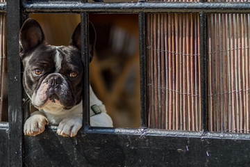 bull dog francés encerrado