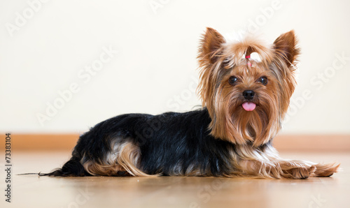 canvas print picture Funny Yorkshire Terrier