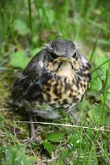 Cuckoo baby bird