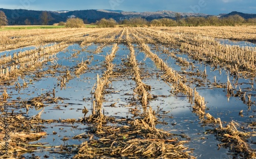 Flooded corn field - 73384389