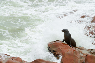 Seal, Cape Cross, Namibia