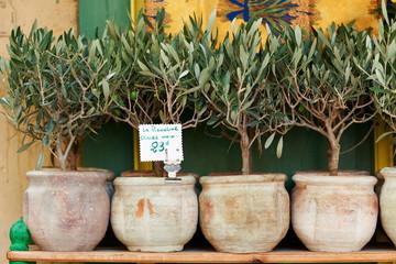 Olive trees bonsai