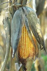 Epis de maïs...