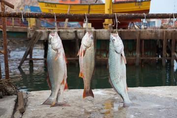 Corvina fish (Cilus gilberti)