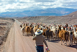 Llama Herd on Road
