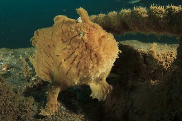 Frogfish (Anglerfish)