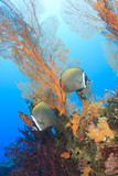Pair Butterflyfish