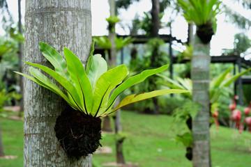 beautiful bird's nest fern,flower pot on a tree