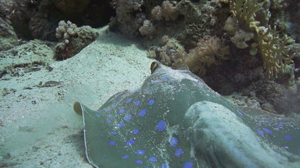 Bluespotted stingray in the Red Sea.