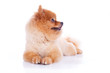 canvas print picture - pomeranian dog brown short hair