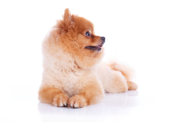 pomeranian dog brown short hair