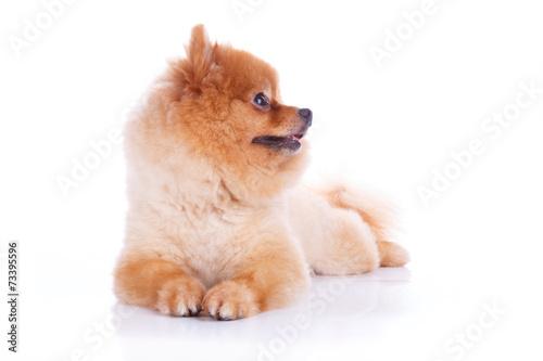 canvas print picture pomeranian dog brown short hair