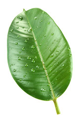 Ficus or rubber plant with water drops, isolated on white