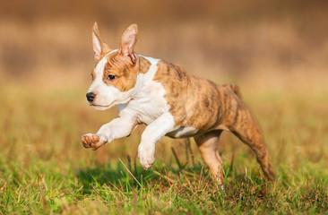 American staffordshire terrier puppy running