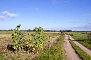 autumn rural gravel road and sunflowers on field