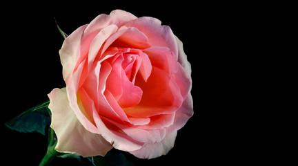 rose on a black background