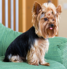 Yorkshire Terrier dog sitting on  sofa