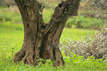albero di olivo (Olea europaea)