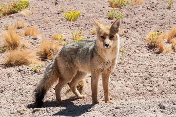 Chile's Andean fox, Atacama deser