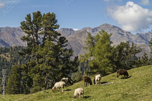 Aluminium Schapen Schafe in Tirol